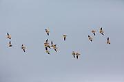 Sand grouse in East African habitat