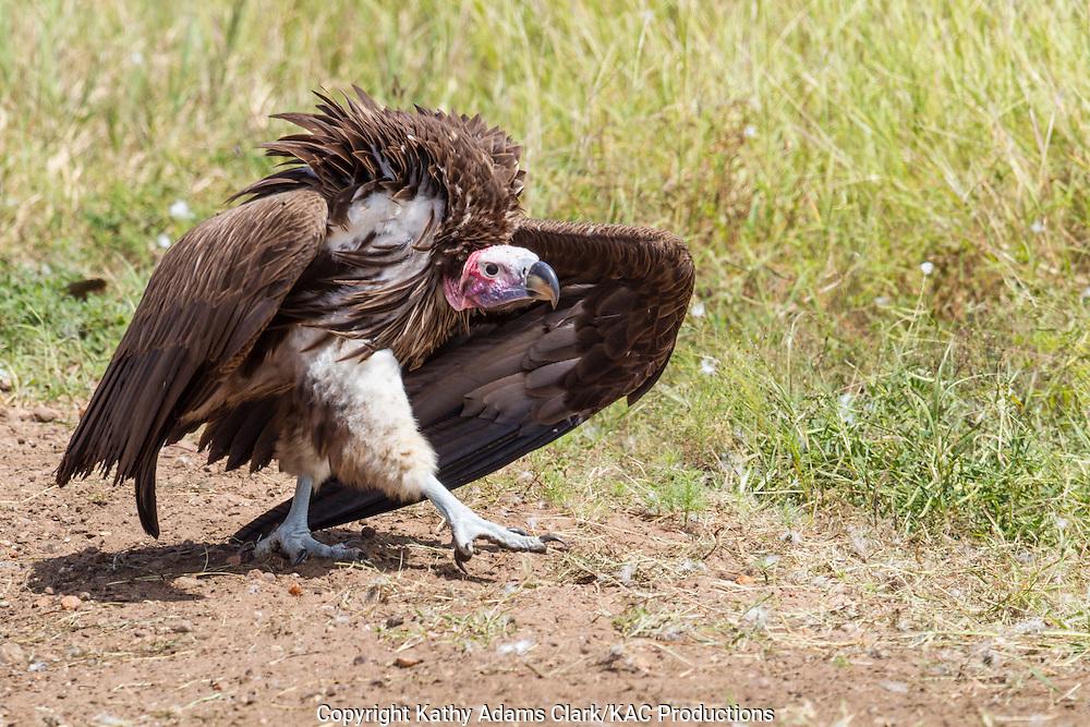 Ruppell's vulture, Gyps rueppellii, Serengeti, Tanzania, Africa.