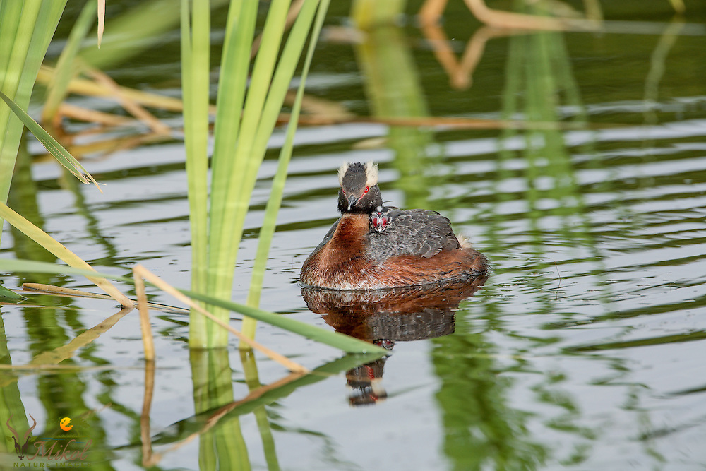 Horned Grebe with chick on back Frontal view