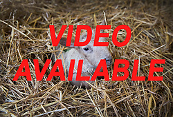 VIDEO AVAILABLE© Licensed to London News Pictures. 08/01/2017. Fetcham, UK. A three day old lamb keeps warm on a bed of straw in a barn on Barracks farm. 80 ewes are expected to give birth to 80-90 lambs for the Easter market. The farm is owned by the Conisbee family who have  supplied their own butchers shops in nearby Horsley for over 250 years. Photo credit: Peter Macdiarmid/LNP