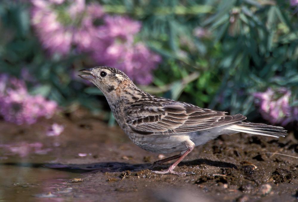 Chestnut-collared Longspur - Calcarius ornatus - Adult female breeding