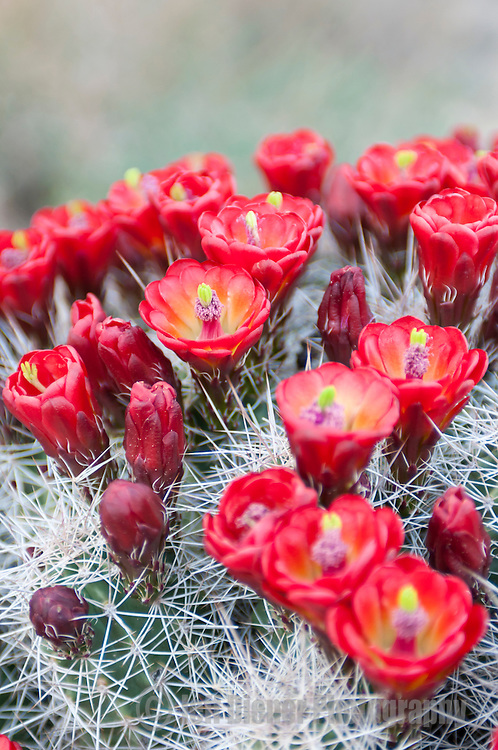 Red cactus flowers bloom in Capital Reef National Park, Utah.