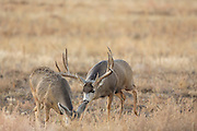 A trophy mule deer buck pursues a doe in estrus during the autumn rut