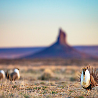 Sage-grouse are symbols of the unique and diverse habitat of the North American West. These group of male sage-grouse gather near Boar's Tusk, an iconic 400-foot volcanic monolith in the Red Desert, considered a sacred place for Native American tribes called this area home for thousands of years.