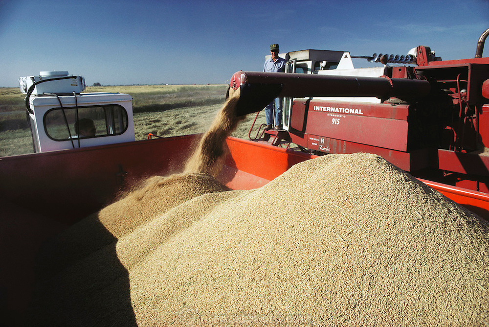 Rice: rice harvest. Richvale, California, USA. 1980.