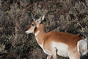 USA, Wyoming, Male Pronghorn Antelope, Yellowstone National Park