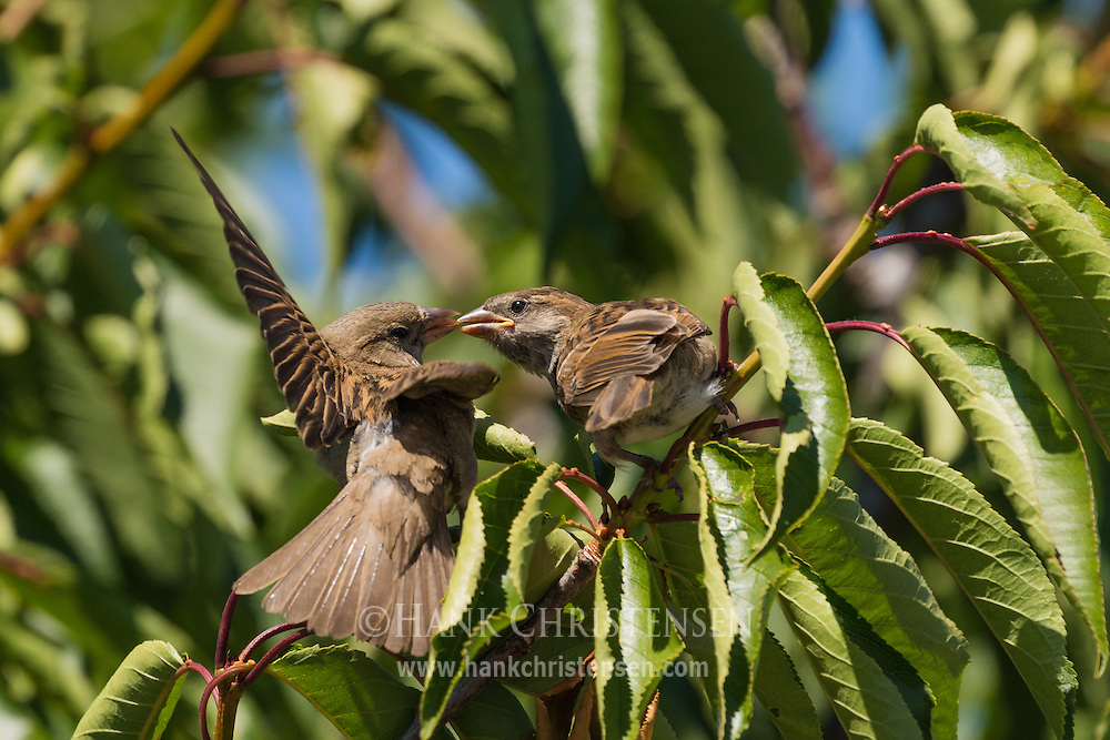 A female house sparrow feeds her chick, Belmont, CA.
