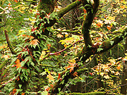 Licorice Fern growing on Bigleaf Maple in autumn