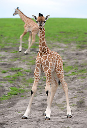 Five-week-old (left) and nine-day-old (right) Rothschild's giraffe calves explore their enclosure at West Midlands Safari Park in Bewdley, Worcestershire.