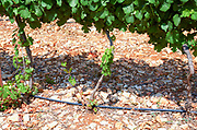 Israel, Judea Hills, Tzora winery and vineyards. A plot of Gewurtzstraminer grapes planted in terra cotta near Shoresh June, 6 weeks before harvest. The drip irrigation pipes are visible between the vines