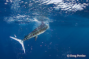 half of a sardine or pilchard, Sardinops sagax, drifts down past the tail of a striped marlin, Kajikia audax (formerly Tetrapturus audax ), that slashed the fish with its bill while feeding off Baja California, Mexico ( Eastern Pacific Ocean )