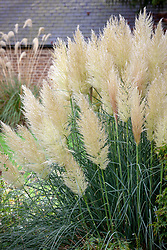 Cortaderia selloana 'Pumila' AGM -  Pampas grass