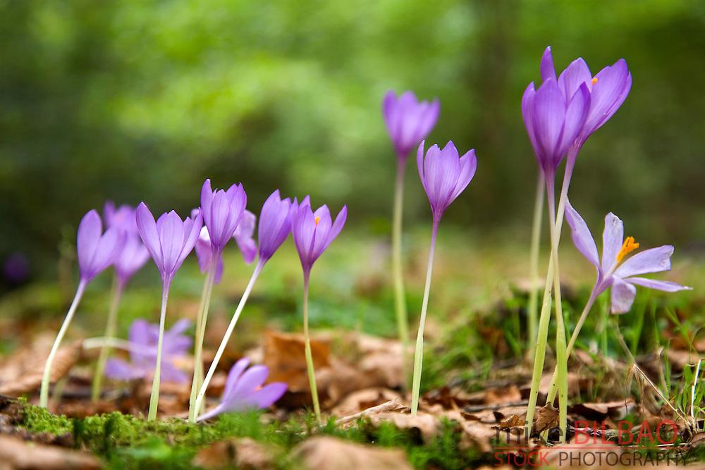 Wild saffron (Crocus nudiforus). Ucieda valley. Cabuerniga Valley. Cantabria; Spain, Europe.