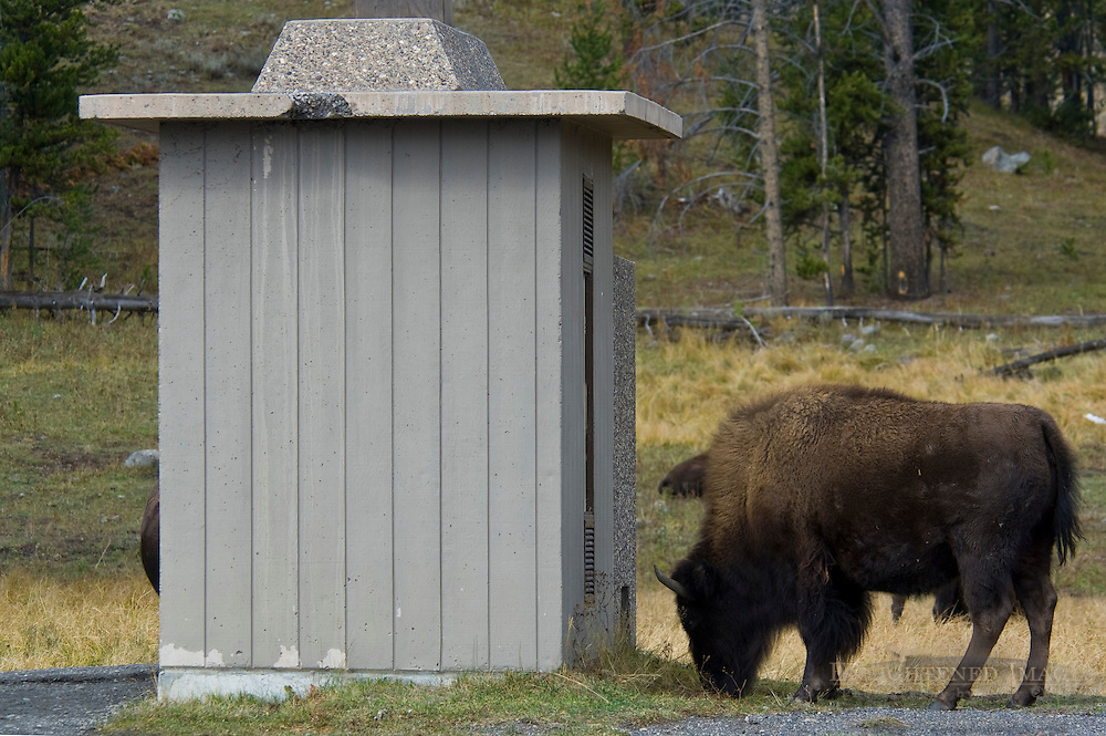 American Bison Buffalo next to outhouse bathroom in Yellowstone National Park, Wyoming