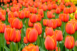 Tulpen oranje, Tulipa spec, orange tulips, Holland, Netherlands