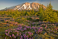 Mount St Helens at dawn from the Planes of Abraham blanketed with Purple Penstemen on the south slope, Mount St Helens National Monument, Gifford Pinchot National Forest, WA, USA