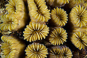 Smooth Flower Coral (Eusmilia fastigiata)<br /> BONAIRE, Netherlands Antilles, Caribbean<br /> HABITAT & DISTRIBUTION: Protected areas in Reef Environments<br /> Florida, Bahamas & Caribbean & north to North Carolina.