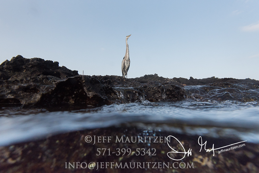 An over-under look at a Great Blue Heron as it perches along the coast of Sombrero Chino an island in the Galapagos, Ecuador.