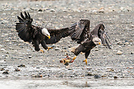 Adult Bald Eagle (Haliaeetus leucocephalus) tries to intimidate juvenile to abandon its salmon in Chilkat Bald Eagle Preserve near Haines in Southeast Alaska. Winter. Afternoon.