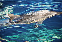 Close up of a wild dolphin swimming in the sea off Hawaii
