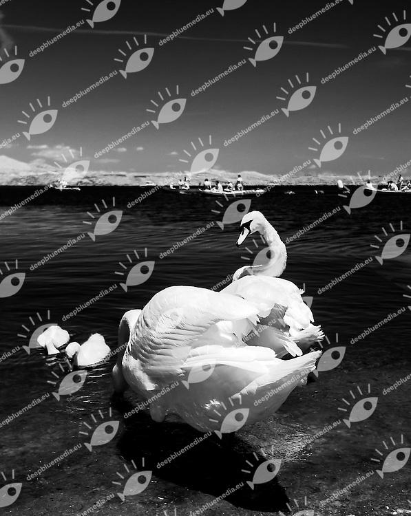 Cigni<br /> Campionato Italiano 25 Km nuoto di fondo<br /> 22 Giugno June 2014<br /> Centro Sportivo Aeronautica<br /> Vigna di Valle -Lago di  Bracciano<br /> Photo Giorgio Scala/Deepbluemedia