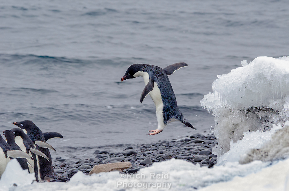 Adélie penguin, Pygoscelis adeliae leaping onto the beach at Brown Bluff on the Antarctic Sound.