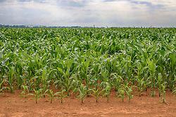 Lavoura de milho na área rural de Perdizes, Minas Gerais. FOTO: Jefferson Bernardes/Agência Preview