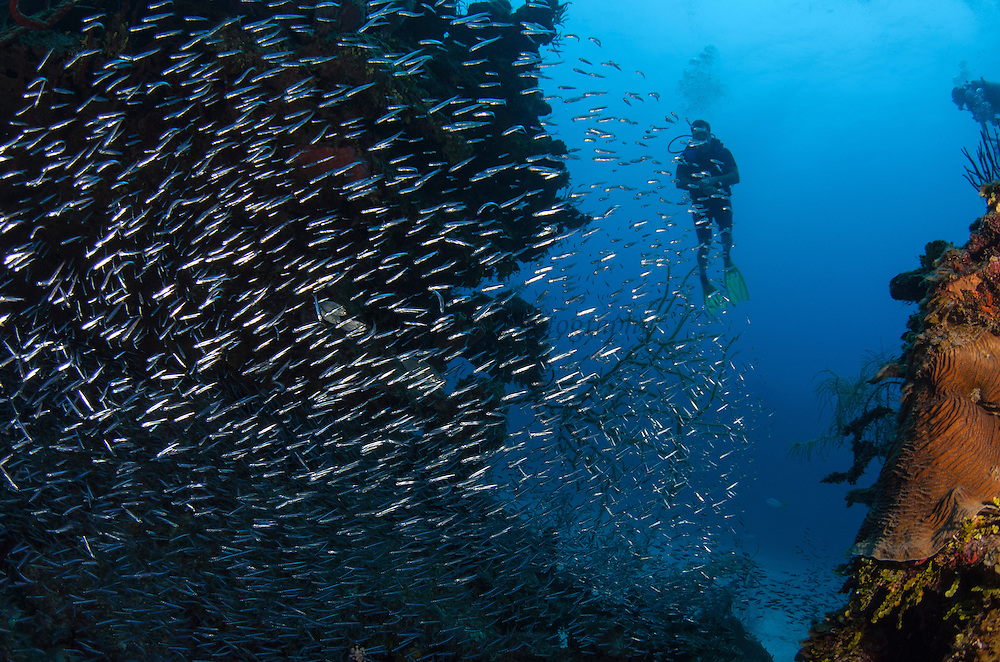 Fish Fry School & Diver<br /> Hol Chan Marine Reserve<br /> near Ambergris Caye and Caye Caulker<br /> Belize<br /> Central America
