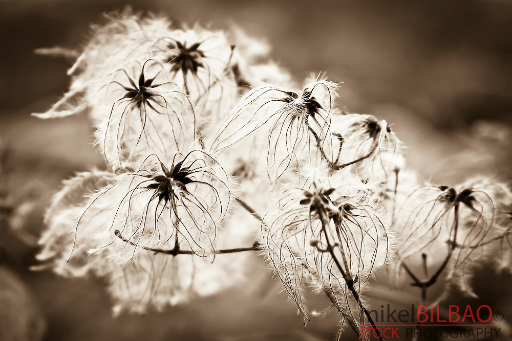 Old man's beard or Traveller's Joy (Clematis vitalba) seeds.<br />
