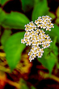 Yarrow - Achillea millefolium with dew on the flowers