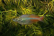 Eastern Rainbowfish Melanotaenia splendida (Jumrum Creek) Kuranda