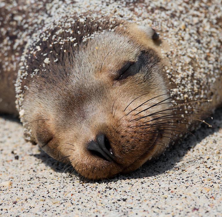 Sea lion (disambiguation), Genovesa Island, Galápagos Islands; Ecuador; South America