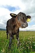 Galloway Kalb in der Halboffenen Weidelandschaft oder Hudelandschaft in Crawinkel.  Das Galloway-Rind stammt aus Südwest-Schottland und ist eine für die ganzjährige Freilandhaltung geeignete, kleine bis mittelgroße, hornlose Robust-Rasse. | The robust Galloway is a small to medium sized hornless breed.