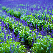 Some late summer lavender blooms still impress after the main flowering season is complete in Furano, Japan.