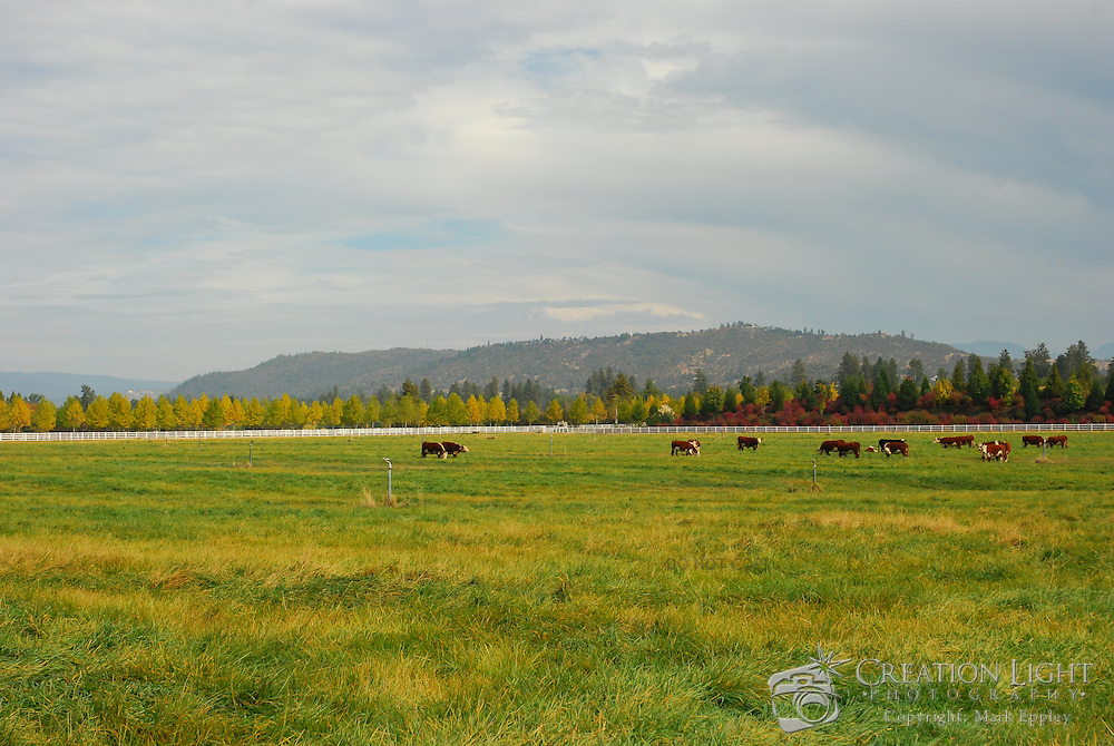 Cattle in a pasture in Rogue Valley, Oregon.  The trees in the background show the color of Fall.