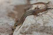 Bridled Mabuya or Bridled Skink (Trachylepis vittata) is a species of skinks found in North Africa and Middle East. The length of those skinks is up to 22 cm. Photographed in Israel in july