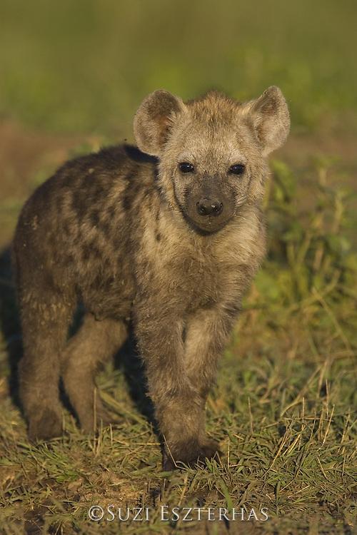 Spotted Hyena<br /> Crocuta crocuta<br /> 4-5 month old cub<br /> Masai Mara Conservancy, Kenya