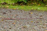 Giant Earthworm [Family: Lumbricidae] foraging; San Isidro, Ecuador