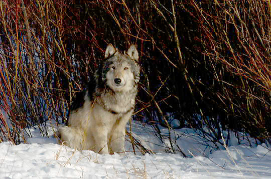 Gray Wolf (Canis lupus) Sitting near willows. Winter. Montana.  Captive Animal.
