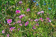 Wildflowers, Blue, Pink, Green Grass