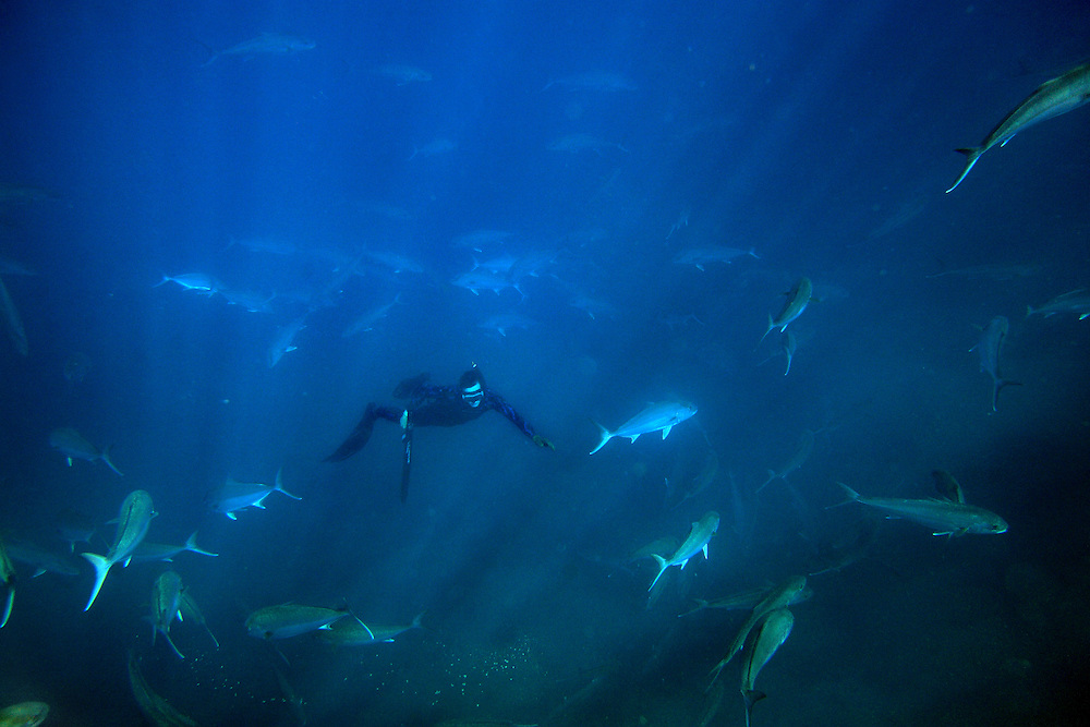 Kolt Johnson freedives within a school of amberjack swim in the waters off the coast of North Carolina. ..Kolt Johnson freedives within a school of amberjack swim in the waters off the coast of North Carolina. .