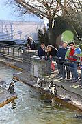Mannheim. 16.02.17 | BILD- ID 041 |<br /> Luisenpark. Der aus dem Mannheimer Luisenpark verschwundene Pinguin ist tot. Das meldet die Polizei. Am Donnerstagmorgen gegen 8.30 Uhr habe ein Zeuge ihn am Rande eines Parkplatzes in der Museumstraße in der Mannheimer Oststadt gefunden. Anhand der Flügelmarke konnte das Tier identifiziert werden. Noch sei unklar, ob der Täter es dort tot abgelegt habe, oder ob es zu diesem Zeitpunkt noch lebte. Der Pinguin sei zwar ohne Kopf aufgefunden worden, aber die Polizei schließt nicht aus, dass sich ein anderes Tier an ihm zu schaffen gemacht hat. Der leblose Körper werde im Chemischen und Veterinäruntersuchungsamt in Karlsruhe (CVUA) untersucht, die Staatsanwaltschaft habe ein Ermittlungsverfahren gegen unbekannt eingeleitet. Die Behörden schließen aus, dass der fünf Kilogramm schwere und bis zu 60 Zentimeter große Pinguin von einem Wildtier gerissen oder aus dem Gehege im Luisenpark entlaufen sein könnte.<br /> Bild: Markus Prosswitz 16FEB17 / masterpress (Bild ist honorarpflichtig - No Model Release!)