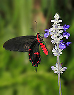 Butterfly, Swallowtail, Common Rose, Atrophaneura, Pachliopta aristolochiae