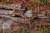 Alpine flora and rotting stump on the Niederhorn in the Swiss Alps, Berner Oberland, Switzerland.