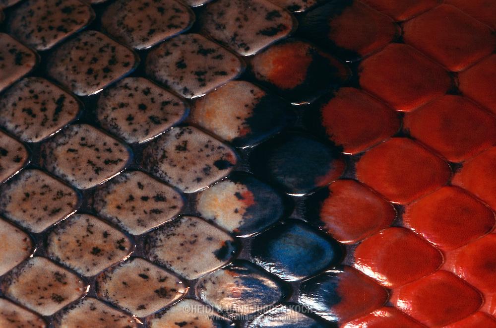 DEU, Deutschland: Schlange, Königsnatter (Lampropeltis Spec.), Hautzeichnung, Hautschuppen | DEU, Germany: Snake, Kingsnake (Lampropeltis spec.), skin design, skin scales |