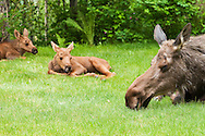Less than a month old, two newborn moose calves and their mother rest in the relative safety of a residential backyard in Eagle River in Southcentral Alaska.  Spring. Morning.