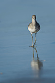 Willet (Tringa semipalmated)