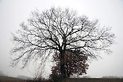 bare leafless tree against foggy background