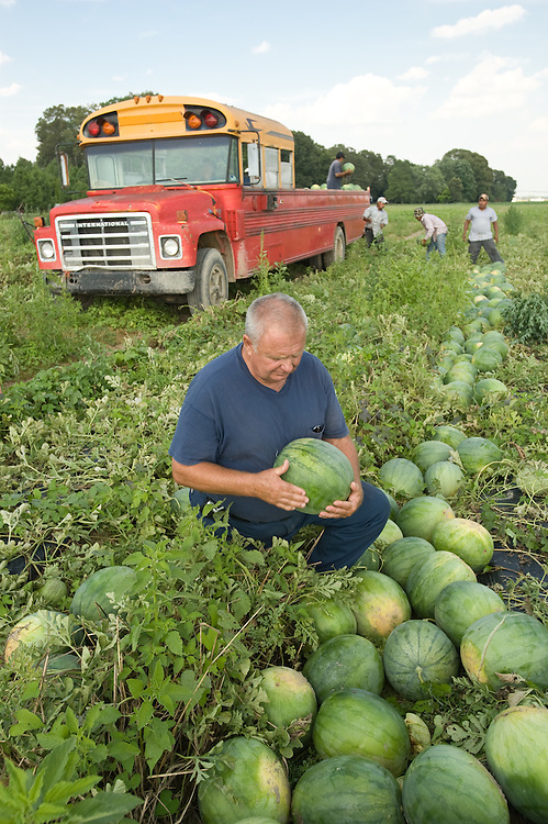 Farmer picking watermelons from field