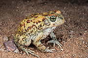 Western olive toad (Bufo poweri)<br /> Marakele Private Reserve, Waterberg Biosphere Reserve<br /> Limpopo Province<br /> SOUTH AFRICA<br /> HABITAT & RANGE: Vleis, pans & dams in open savannah of nw South African and s Botswana